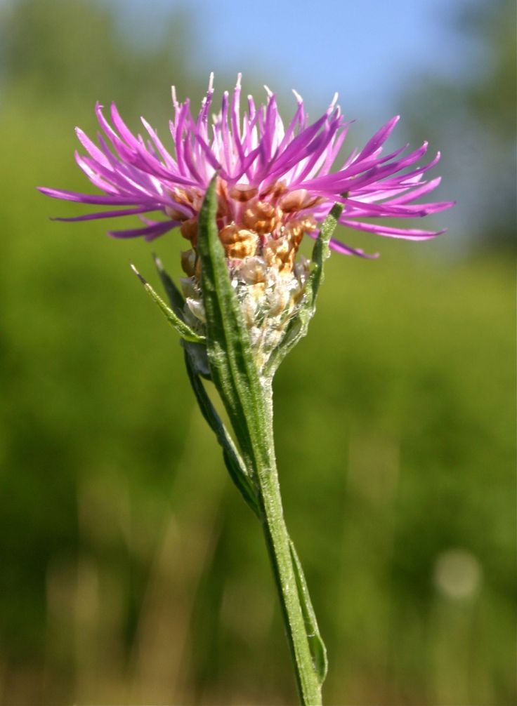 46 best fleurs sauvages du québec images on pinterest