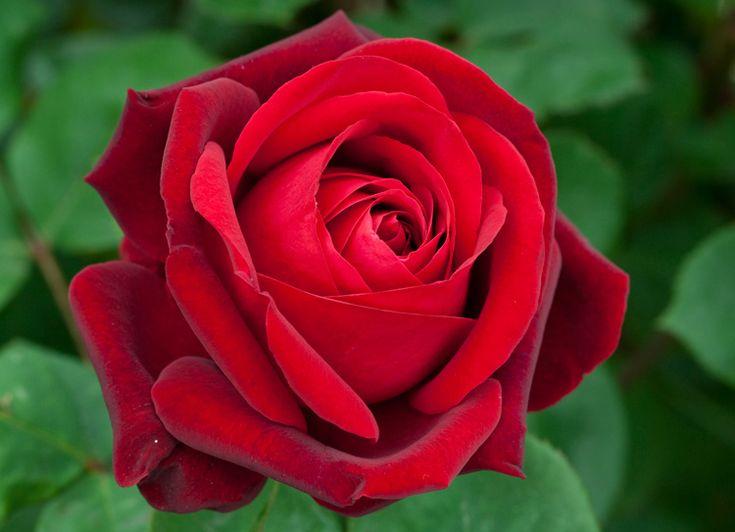 Rosa Edith Piaf Dark Red Heavily Scented Hybrid Tea