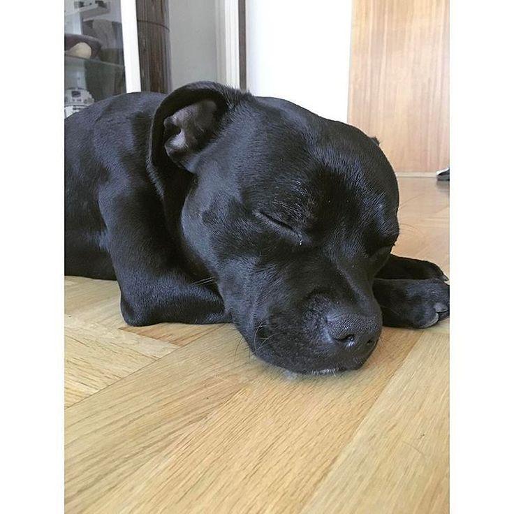#sleepy#staffordshirebullterrier#staffiemoments#staffymoments#staffygram#instastaffy#staffie#staffies#staffe#staffy#dog#dogstagram#dogsofinsta#doggy#dogs#bullybreed#pup#pups#puppy#puppies#puppyeyes#puppylife#puppylove#ballstaffkennel via @dogsbible