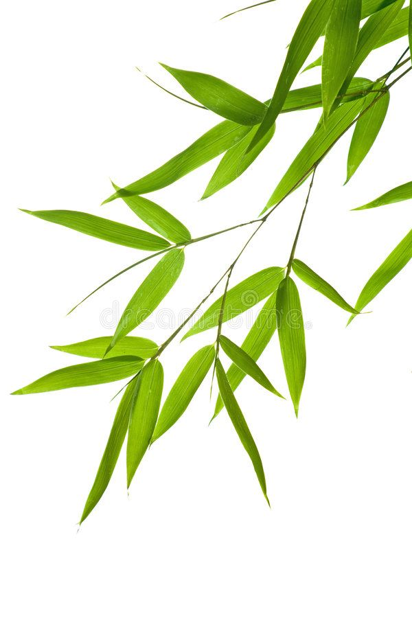 Bamboo Leaves High Resolution Image Of Wet Bamboo Leaves Isolated On A White B Aff Resolution Image Wet B Bamboo Leaves Palm Tree Art Bamboo Image