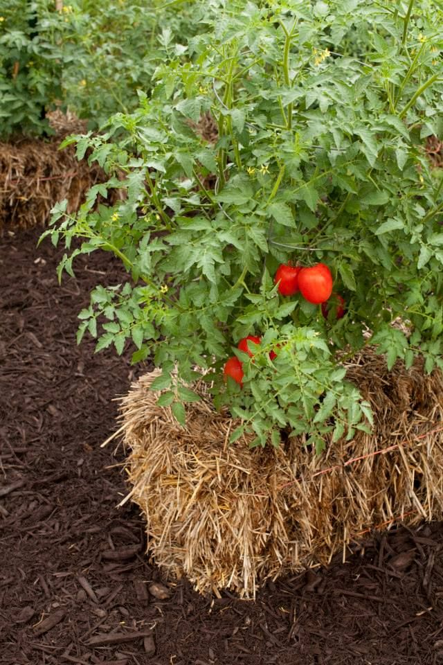 learn how to benefit from growing with straw bale gardens from joel karsten hes giving - Vegetable Garden Ideas Minnesota