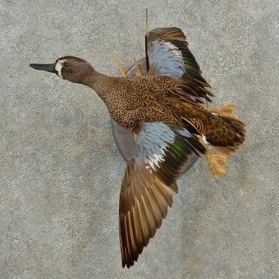 This incredible blue-winged team duck taxidermy mount is for sale @thetaxidermystore.com