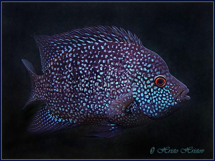 Hericyths Cyanoguttatus Texas Cichlid Aquarium Fish