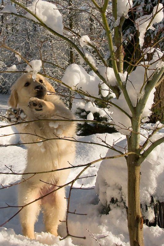 Snow Dancing golden retriever pup...totally moose!  :-)