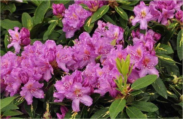 Rhododendron 'Carol. Allbrook' - Online Tuincentrum