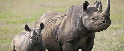 La extincion del rinoceronte acabaria con el equilibrio ecologico en Africa. http://elecuatoriano.net/2014/04/08/la-extincion-del-rinoceronte-acabaria-con-el-equilibrio-ecologico-en-africa/