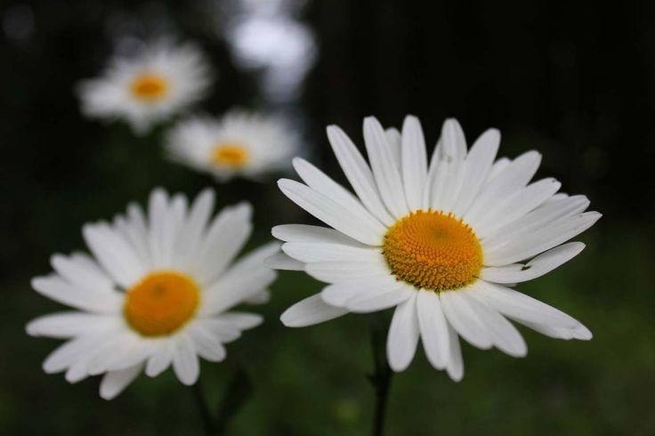 Daisy (päivänkakkara)