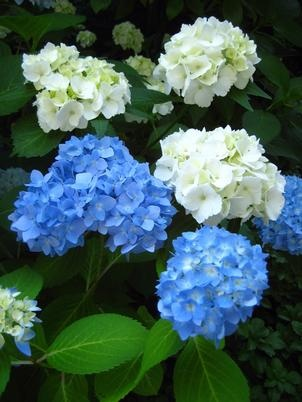 hydrangea growing and pruning tips we have hydrangea but they are not as healthy - Hydrangea Bush