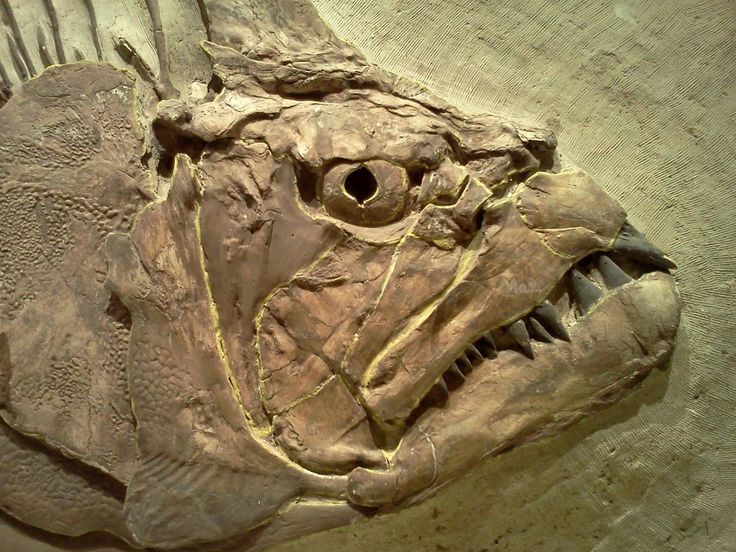 Xiphanctinus (aka Portheus) molossus, once swam in the Cretaceous sea that covered much of present-day Kansas. 4.5 to 6 meter