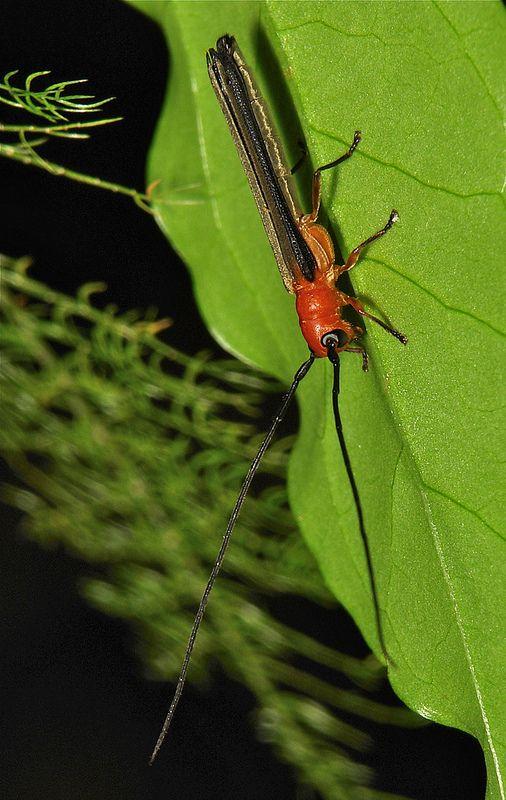 Longhorn Beetle (Oberea ferruginea, Lamiinae, Cerambycidae)