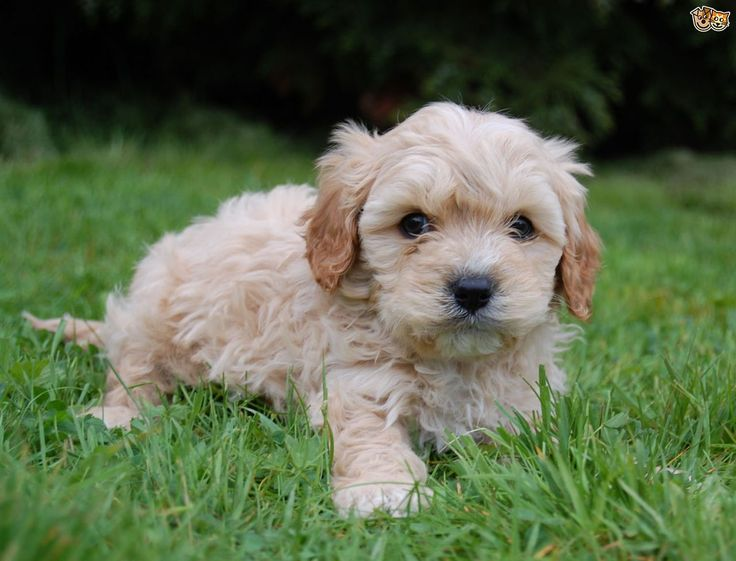 Cavapoo Dog Breed Information, Facts, Photos, Care