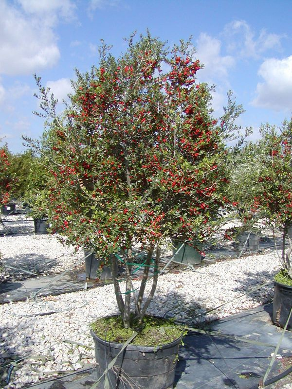 Yaupon Holly Tree 30 Gallon Birds Love The Berries In