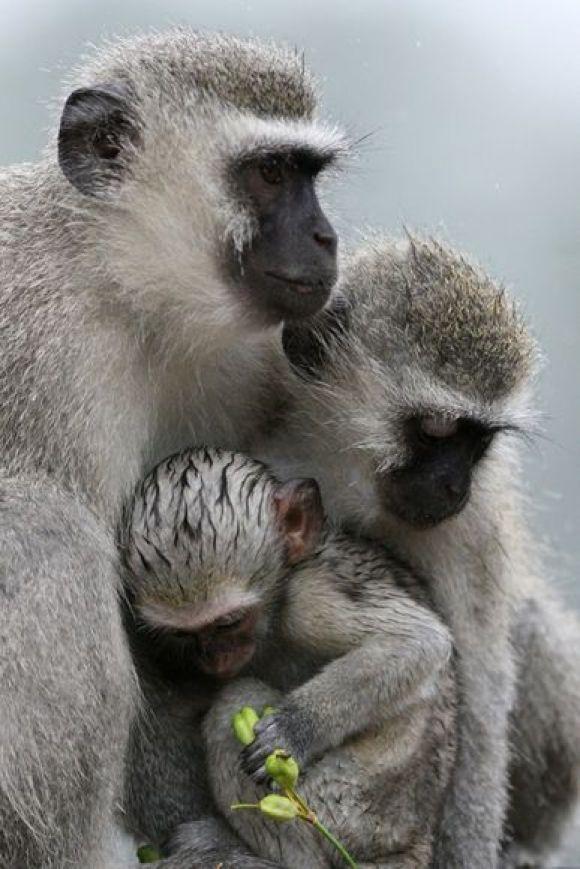 M s de 25 ideas incre bles sobre simios feos en pinterest animales feos monos feos y changos - Fotomurales national geographic ...