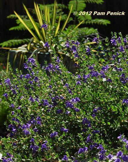 Purple skullcap and 'Color Guard' yucca: Flowers Growing, Native Suitabl, Colors Guard, Rocks Gardens, Hot Climate, Skullcap Scutellaria, Purple Skullcap, Scutellaria Wrightii, Low Growing Native