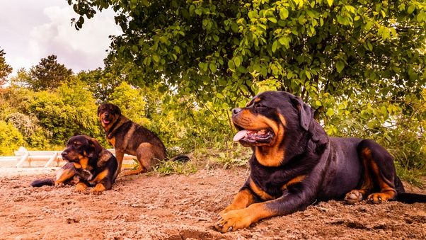 I Want A Dog I Really Want A Rottweiler But I Ve Read 15 Great