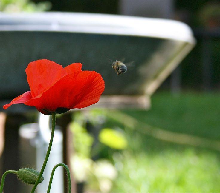Poppy and bee.
