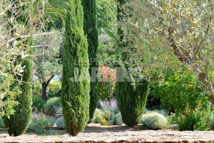 17 meilleures id es propos de cupressus sempervirens sur - Cypres de florence totem ...