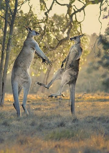Eastern Grey Kangaroo Combat: amazing how they balance on their tails so they can strike