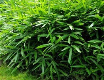 rośliny ozdobne - Karłowy Bambus ogrodowy (Bamboo Pleioblastus viridistriatus Vagans)
