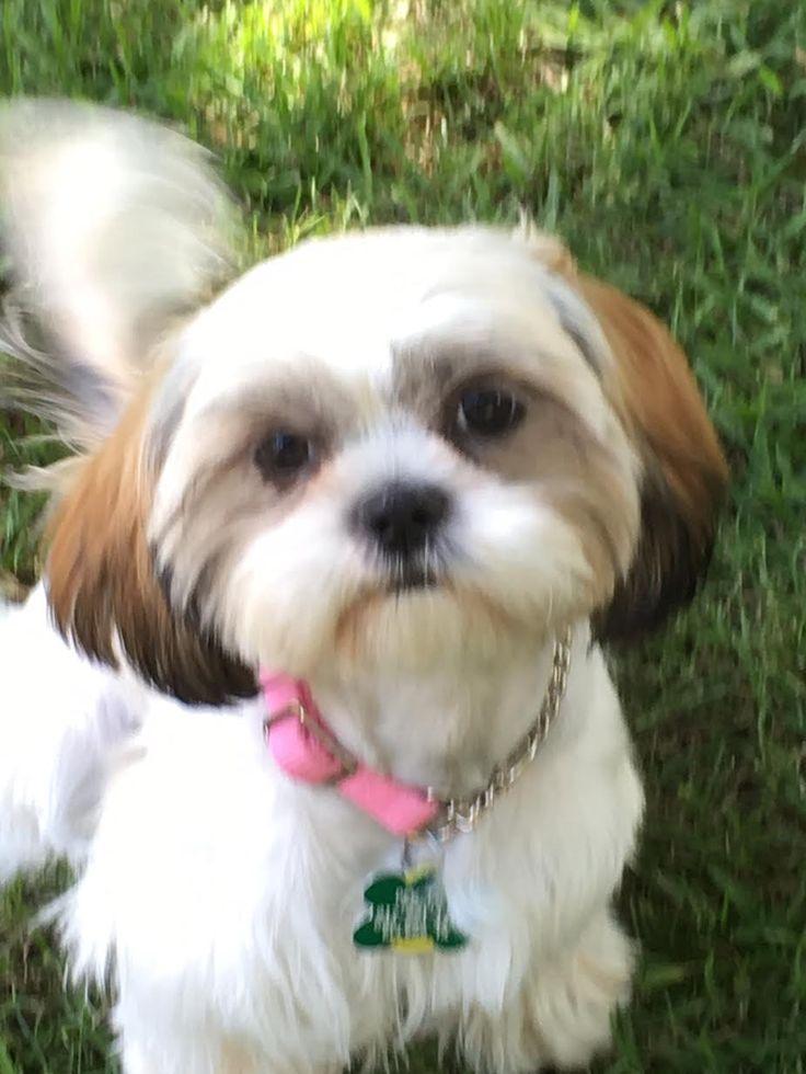 Shih Tzu dog for Adoption in Euless, TX. ADN559918 on