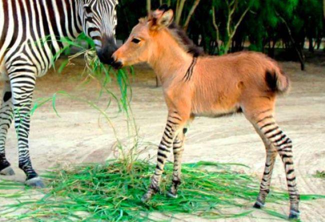 6. Los burros y las zebras se pueden aparear. Como resultado sale  un Zebroide.