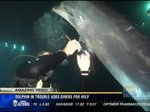 Amazing video: Dolphin in trouble asks divers for help, such a cool story and video! Such a great moment.
