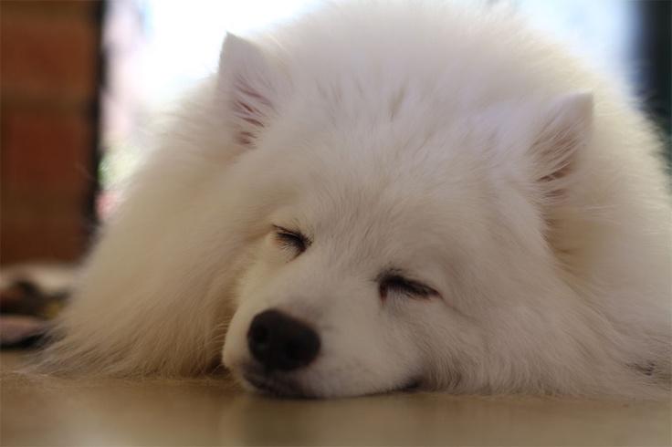 Japanese Spitz sleeping.