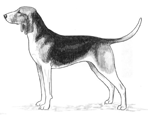 Seven of the French hound breeds are listed under the Anglo Francais or Francais Hound. They are the Grand Anglo Francais Tricolore, Grand Anglo Francais Blanc et Noir, Grand Anglo Francais Blanc et Orange, Francais Tricolore, Francais Blanc et Noir, Francais Blanc et Orange and Anglo Francais de Petit Venerie. These French hounds are crossbreeds between the English Foxhound and several old French hound breeds. United Kennel Club: Great Anglo-Francais Tricolor Hound