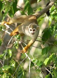 Entre los modos de locomoción se encuentra ascender, saltar, la braquiación, el deslizamiento, y el vuelo. Hay muchas adaptaciones específicas como uñas afiladas para trepar, dígitos opuestos y colas prensil para rodear los troncos y ramas, patas traseras largas para saltar, etc.