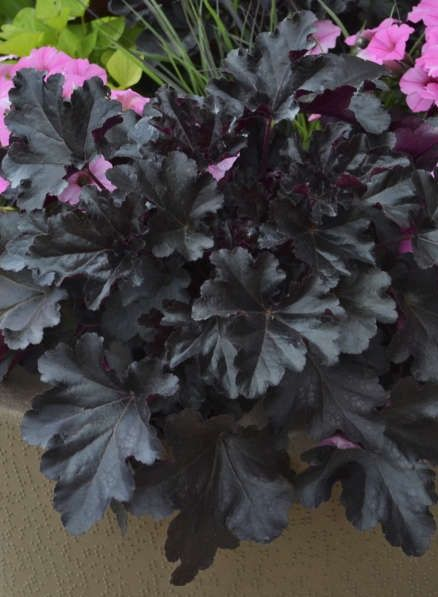 A stunning black plant for your perennial garden! Primo Black Pearl heuchera is hardy to zone 4 and will grow in sun or shade!