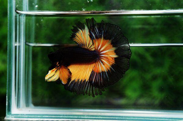Nice Betta Thailand Co Ltd Betta Fish For Sale Siamese Fighting Fish Betta Fish Siamese Fighting Fish Betta Fish Tank