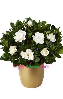 Gardenya Çiçeği Bakımı, Yetiştirilmesi, budanması, sulanması, toprak, vitamin, ışık, ve rüzgar faktörlerine karşı direnci.