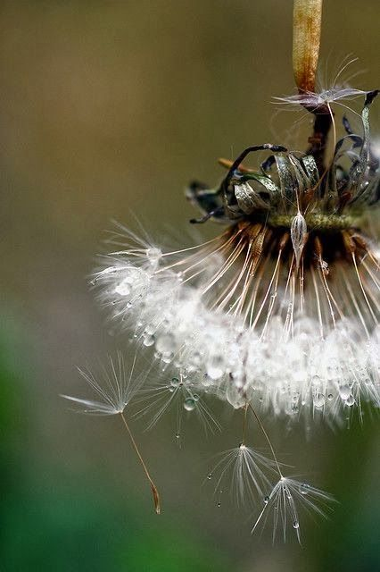 The Dew and the Dandelion