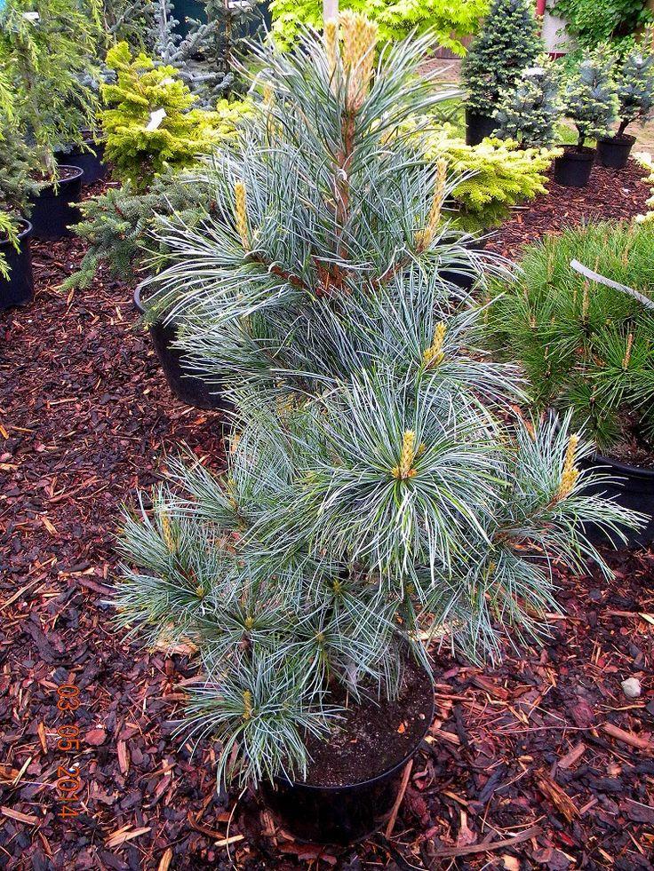 Pinus koraiensis SILVERAY 1
