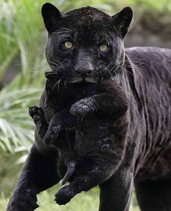 Fantasyanddreamsworld Black Jaguar