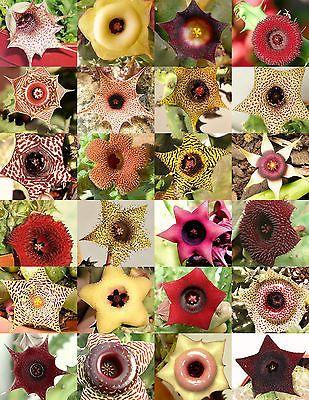 Huernia mezcla rara asclepiad planta Caralluma exótico Orbea cactus suculenta 5 semillas in Casa y jardín, Patio, jardín y espacios abiertos, Plantas, semillas y bulbos | eBay