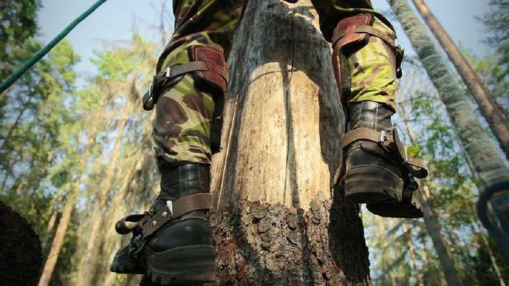 Такие ровные стволы деревьев получаются не сами по себе, за ними заранее ухаживают и срезают все сучья, оставляя лишь верхнюю часть кроны дерева. Конечно же,...