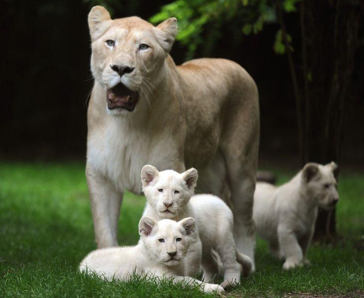 Una famiglia di leoni bianchi in Francia