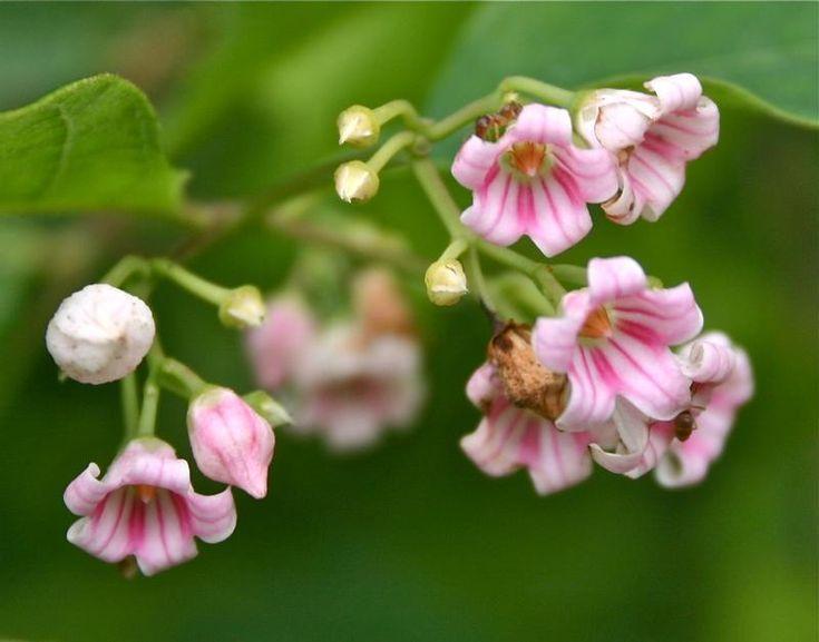 APOCYNUM androsaemifolium  - Spreading Dogbane - Apocyn à feuilles d'androsème.