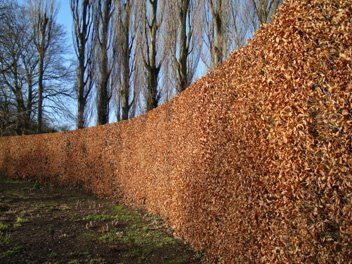 Gorgeous Beech Hedge holds its leaves all winter and edges that tree'd background- needs full sun