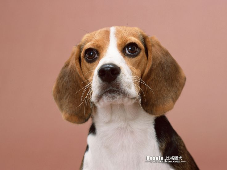 pictures of beagles dogs Beagle Dog photos Beagle