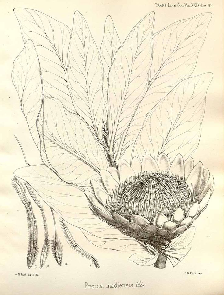36015 Protea madiensis Oliver / Transactions of the Linnean Society of London, vol. 29: The botany of the Speke and Grant expedition from Zanzibar to Egypt, t. 92 (1875) [W.H. Fitch]