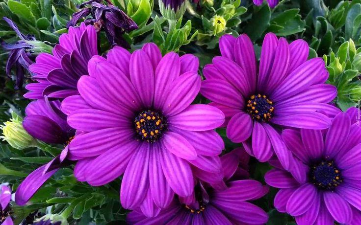 Fioletowe, Kwiaty, Arktotis