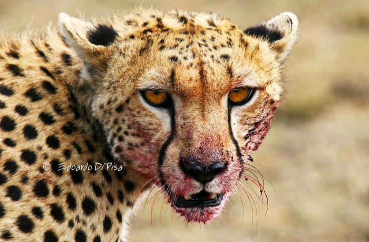 Cheetah - Serengeti NP - Tanzania