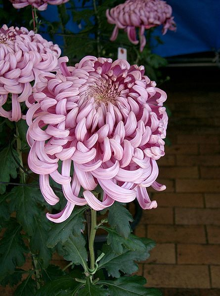 File:Chrysanthemum morifolium cv2.jpg