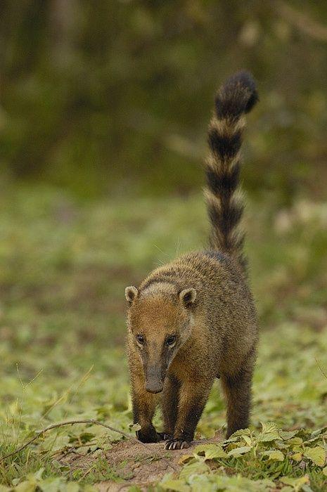 Coati, or Coatimundi, a small mammal related to the ...