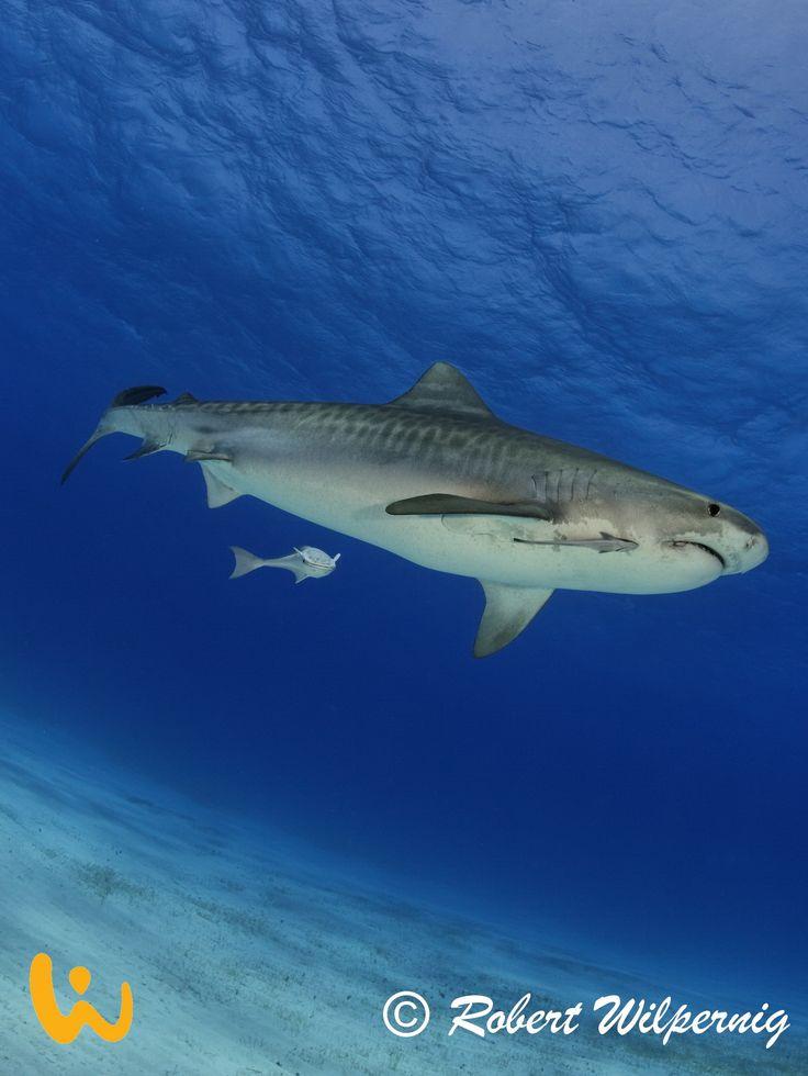 Juni '17: Tiger-, Bullen- und Hammerhaie: SharkSchool™ Fiji 2017 #fiji #sharkschool #tigerhai #bullenhai #hammerhai #abenteuer #erlebnis #tauchen #meer #urlaub #sonne #palmen #inselleben #tauchreisen #erlebnisreisen #touchedbynature #wirodive