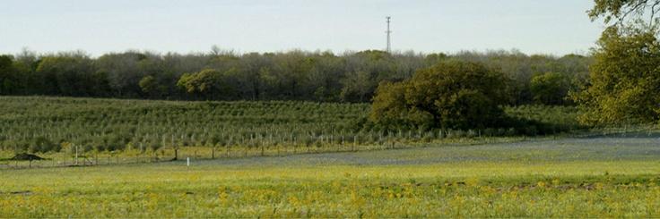 Sandy Oaks Olive Orchard (San Antonio area)