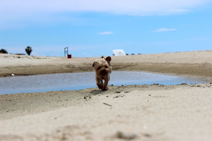 My dog in our favorite beach  #dogs #yorkie #summer #beach #Greece #Keramoti #love  -- photo by Evi Tselempi