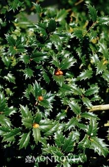 Monrovia Patriot Red Holly Ilex X Conot P P 12010